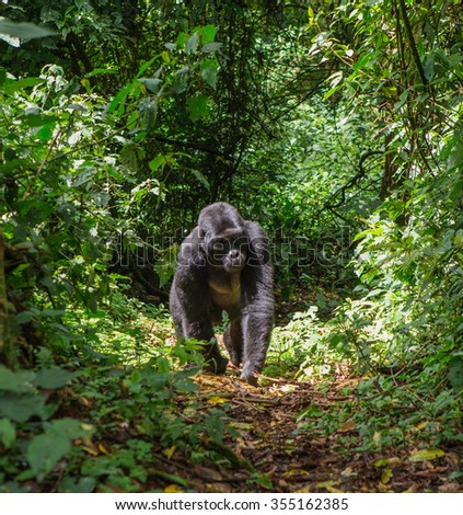 Mountain gorillas in the rainforest. Uganda. Bwindi Impenetrable Forest National Park. - stock photo