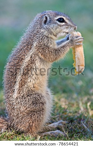 Mountain ground squirrel eating bread - stock photo