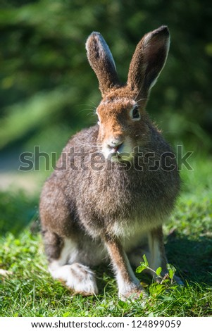 Mountain Hare (lat. Lepus timidus) with brown hair in summer