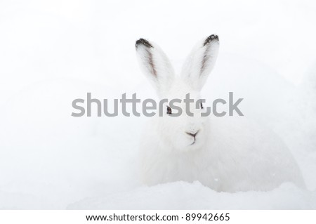 Mountain Hare (lat. Lepus timidus) with white fur sitting in snow in winter - stock photo