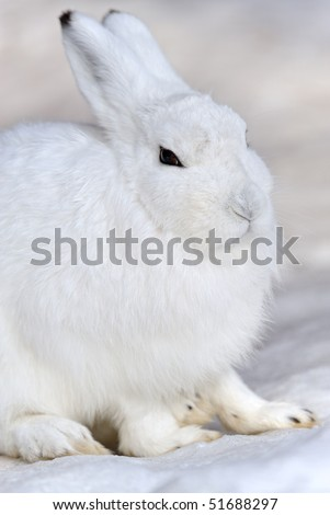Mountain Hare (Lepus timidus) sitting in snow in winter