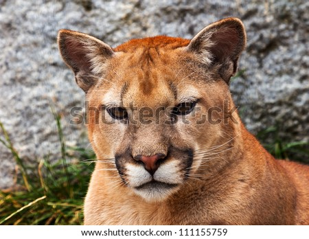 Mountain Lion Closeup Head, Cougar, Puma Concolor Predator, on Rocky Mountain - stock photo