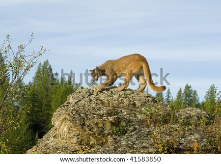 Mountain lion, cougar, or puma (felis concolor or puma concolor) on rocky cliff in western North America. - stock photo