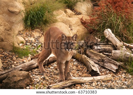 Mountain lion, cougar or puma standing watching intently - stock photo