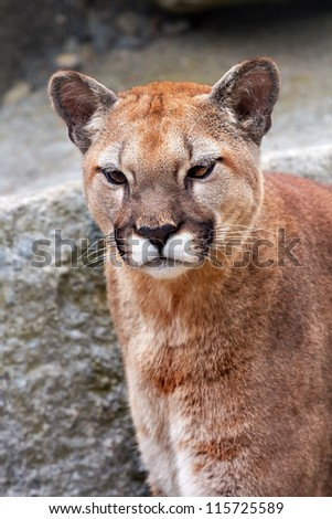 Mountain Lion Cougar, Puma Concolor Predator, Looking on Rocky Mountain - stock photo