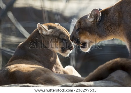 mountain lion couple showing affection - stock photo