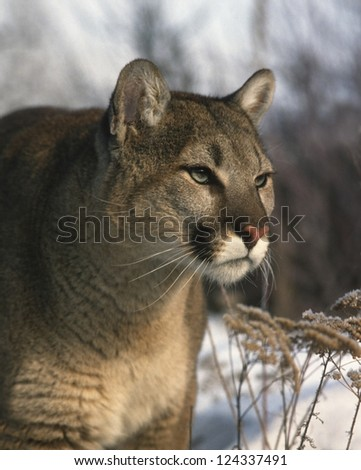 Mountain Lion  (Felis concolor) Cougar or Puma. Mountain Lions are solitary animals that usually feed in the early morning or evening.  Range: SW Canada, Western US, Mexico, Central and South America. - stock photo
