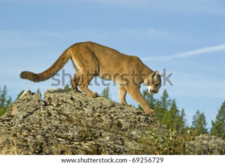 Mountain Lion (felis concolor or puma concolor) walks along a mountain ridge. - stock photo