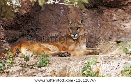 Mountain lion in her den - stock photo