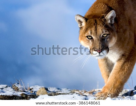 Mountain Lion is looking towards the camera.He has green eyes.His head, shoulders and foreleg can be seen clearly.Photo taken in USA.It is winter, daytime.Background is sky blue. He is in his habitat. - stock photo