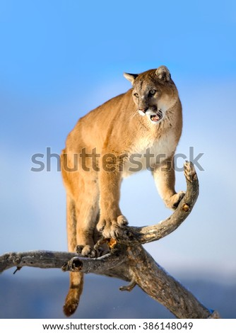 Mountain lion is standing on deadwood and roaring.The mountain lion in the middle of the frame.His head, shoulders, forepaws, claws, tail and entire body can seen clearly. background is sky. Puma - stock photo
