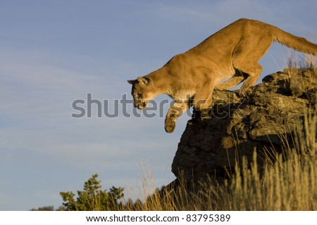 Mountain Lion Jumps from vantage point - stock photo