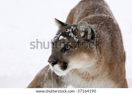 Mountain Lion looking at prey with snow background - stock photo
