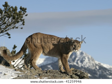 Mountain Lion looking over Valley - stock photo