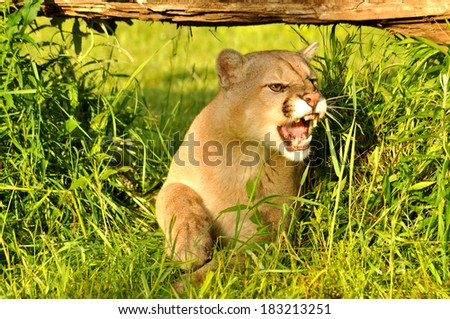 Mountain Lion lying in wait snarling. - stock photo