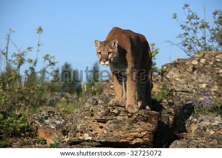 Mountain Lion on a rocky ridge against blue sky. - stock photo