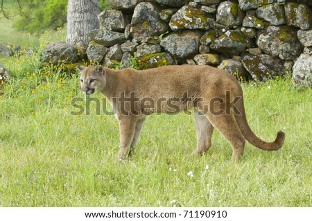 Mountain Lion on green grass with rocks in background during spring time - stock photo
