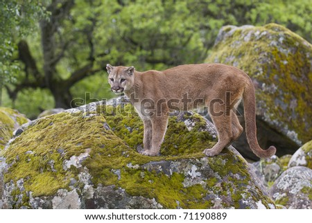 Mountain Lion on moss covered rocks during spring time - stock photo