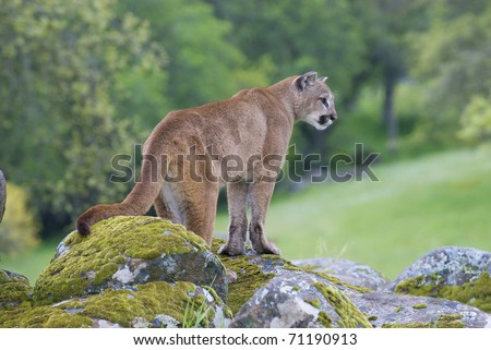 Mountain Lion on moss covered rocks near Yosemite National Park during spring time - stock photo
