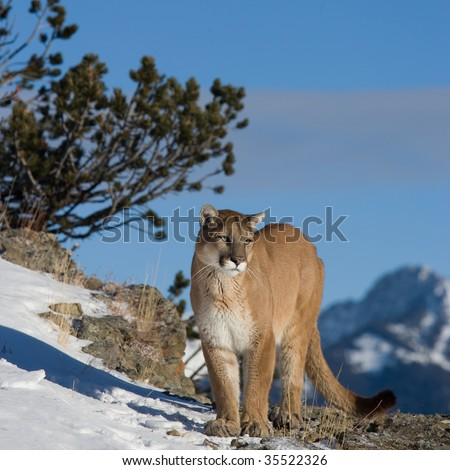 Mountain Lion on Mountain Ridge - stock photo