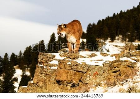 Mountain Lion on rocks - stock photo