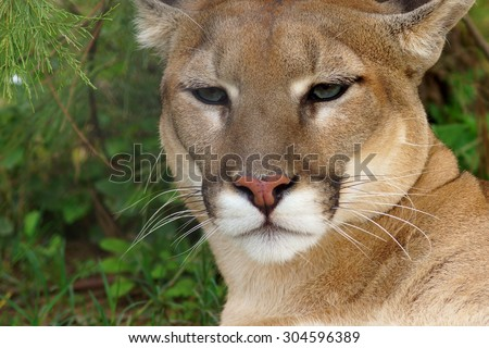 Mountain Lion (puma) - stock photo