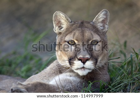 Mountain lion (Puma concolor) laying down in the grass. - stock photo