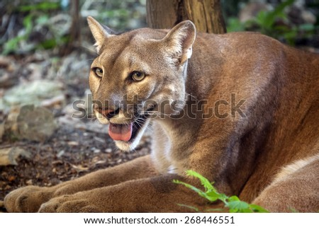 Mountain lion, puma, Cougar. - stock photo