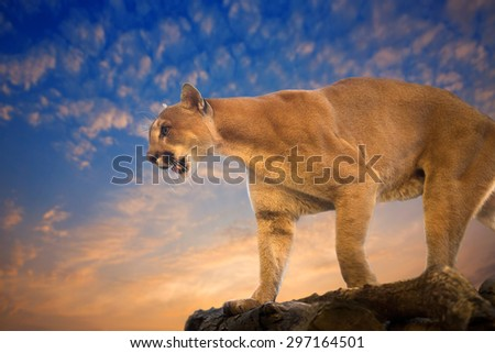 Mountain Lion- Puma - Cougar atmospheric evening. - stock photo