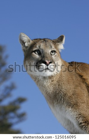 Mountain Lion- Puma - Cougar close up - stock photo