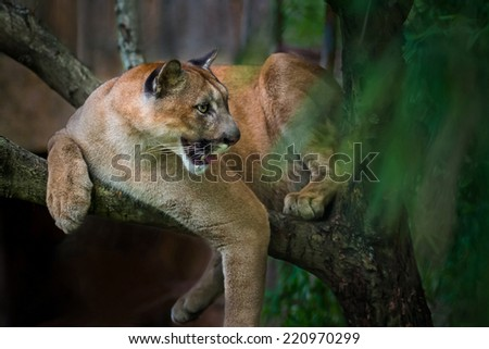 Mountain lion; puma prey on the staring twigs of the forest. - stock photo