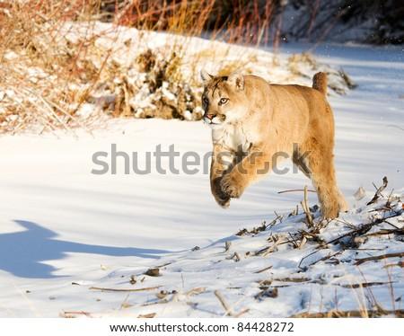Mountain Lion Running - stock photo