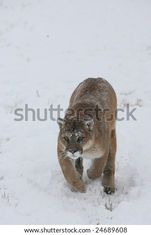 Mountain Lion Running During Snow Storm - stock photo
