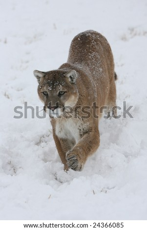Mountain Lion Running in a Snow Storm - stock photo