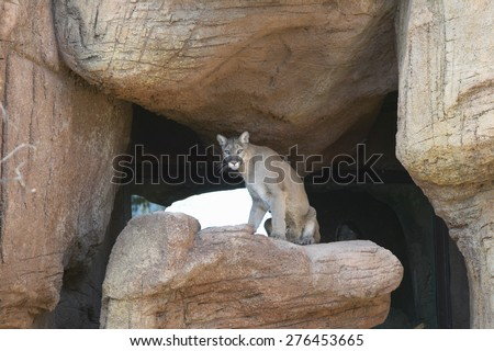 Mountain lion sitting on rock in Arizona-Sonora Desert Museum in Tucson, AZ - stock photo