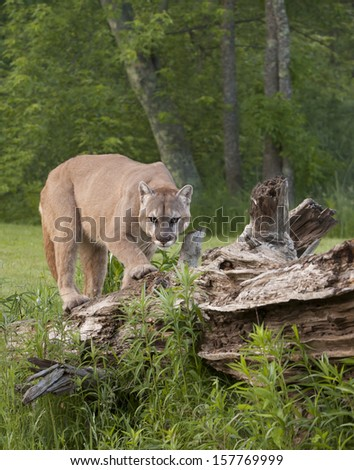 Mountain Lion Walking on  Fallen Tree - stock photo