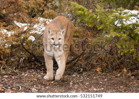 Black Panther Leaping Mountain Lion Stock Im...