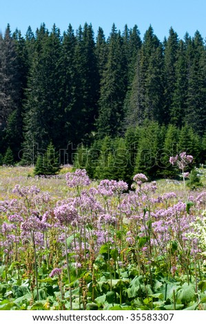 mountain meadow full of violet flowers