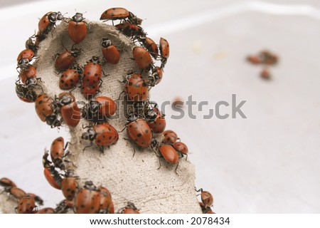 Mountain of Lady bugs