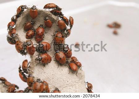 Mountain of Lady bugs - stock photo