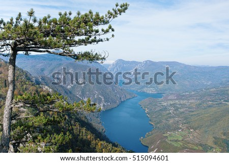 Mountain pine-tree