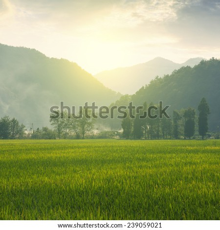 Mountain rice