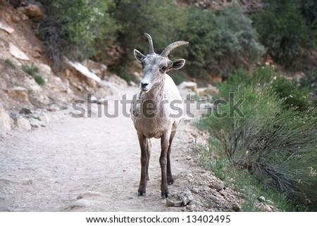 mountain sheep in grand canyon - stock photo