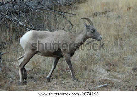 Mountain Sheep on the prowl