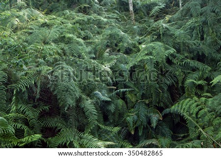 Mountain slopes covered with large ferns (Taiwan)