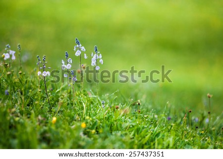 Mountain small flowers with green background - stock photo