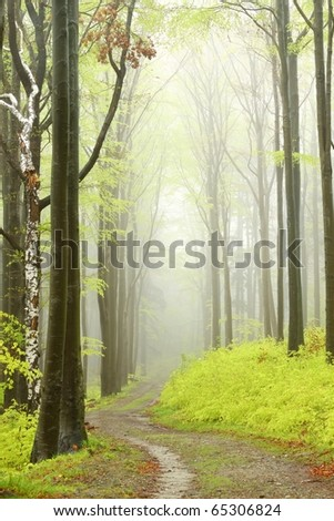 Mountain trail leading through a foggy spring beech forest on a rainy day.