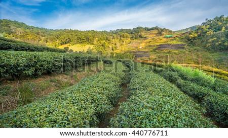 Mountain valley during sunrise. Natural summer landscape,Tea plantation at Doi Ang Khang, Chiang Mai, Thailand - stock photo