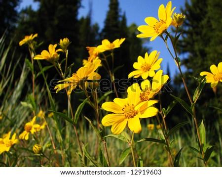Mountain wildflowers - stock photo