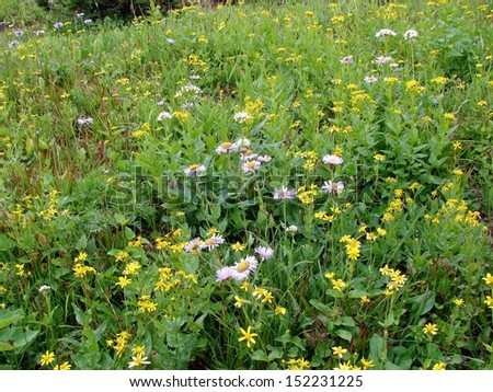 mountain wildflowers in bloom - stock photo